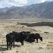 Medical Camp Ladakh 2014 (11)